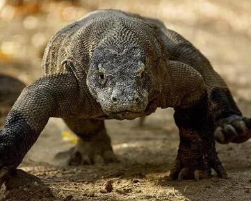 科莫多巨蜥 - 搜狗百科