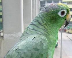 小黃帽亞馬遜鸚鵡 - 搜狗百科