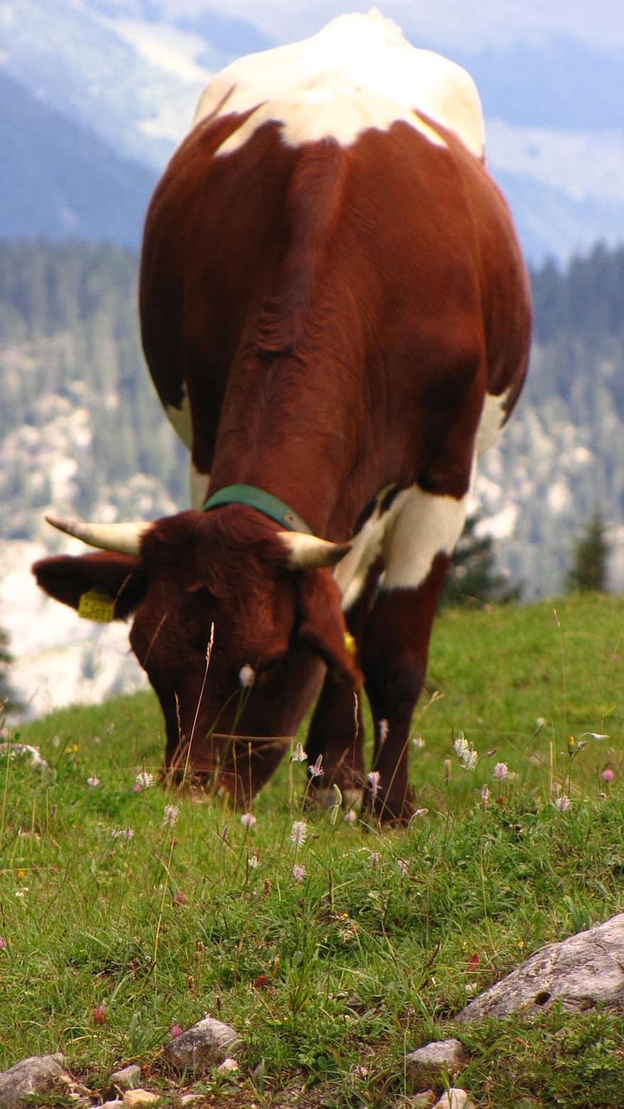 Hewan Pemamah Biak : hewan, pemamah, Sapi,, Alam,, Hewan,, Ternak,, Alpine,, Pemamah, Biak,, Pedesaan, Pikist