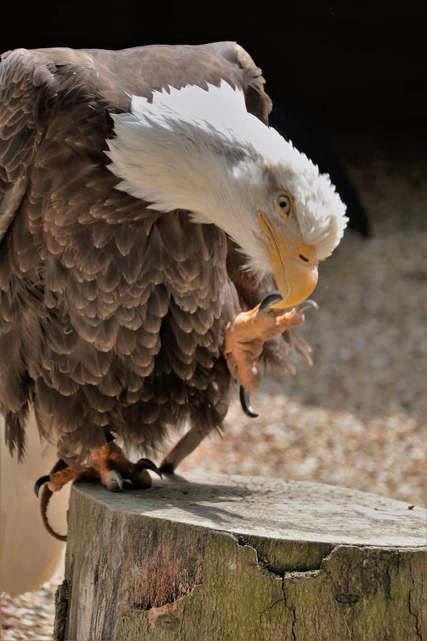Eagle Talon Bird : eagle, talon, Eagle,, Talon,, Bird,, Wildlife,, Prey,, Bald,, Hunting,, Natural,, Hawking,, Falconry, Pikist