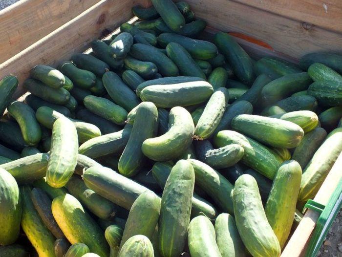 cueillette-ferme-viltain-chapeau-de-paille-jouy-en-josas-fleurs-mures-groseilles-tomates-cerises-mais-doux-champs-nature-courgette-choux (17)