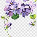 Drawing Of Family African Violets Sweet Violet Pansy Flower Purple Houseplant Petal Transparent Background Png Clipart Hiclipart