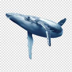 Whale Blue Whale Dolphin Whales Baleen Whale Beluga Whale Oceanic Dolphin Humpback Whale transparent background PNG clipart HiClipart