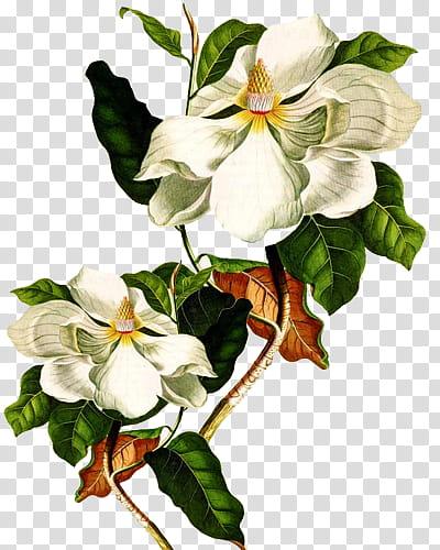Magnolia Flower Clip Art : magnolia, flower, Flores,, White, Magnolia, Flower, Transparent, Background, Clipart, HiClipart