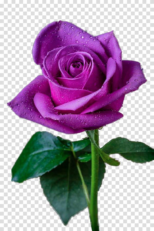 roses purple rose in