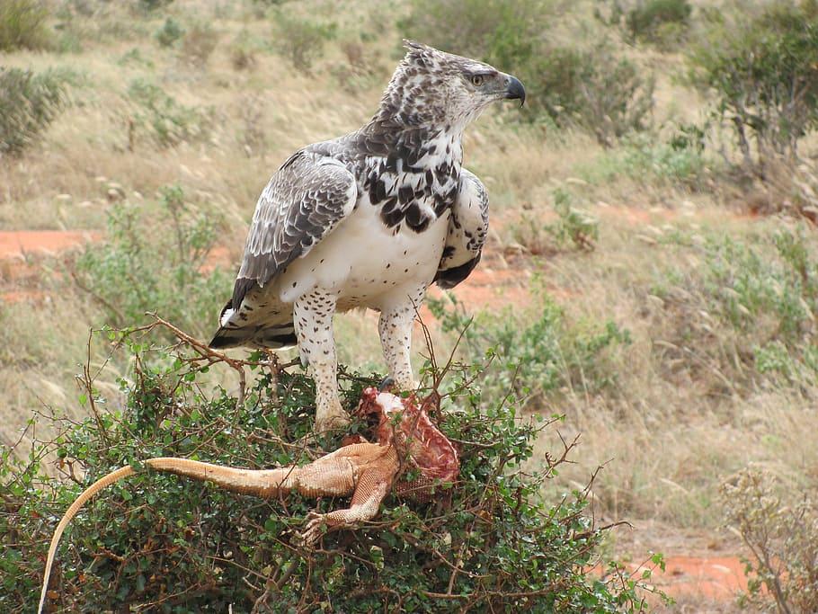 Raptor, Adler, Africa, Martial Eagle, prey, hunter, bird, animal wildlife, animals in the wild, one animal