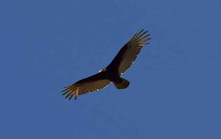 turkey vulture, bird, scavenger, vulture, wildlife, nature, animal, raptor, wild, feather