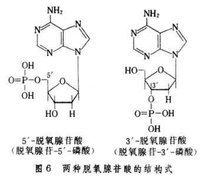 脫氧核苷酸_360百科