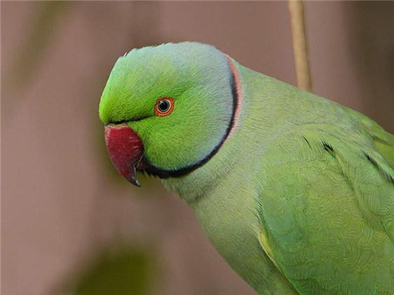 紅領綠鸚鵡_360百科