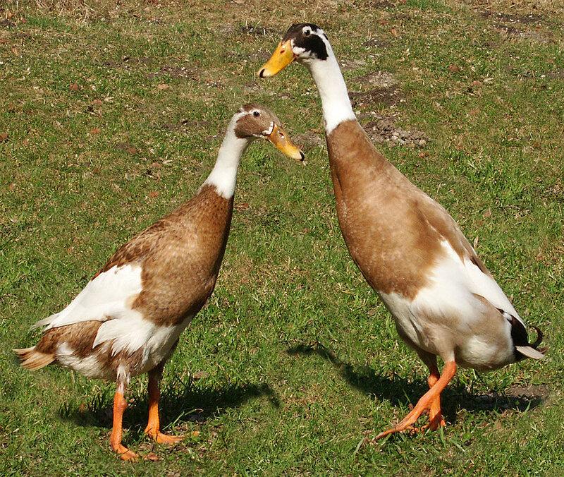 1024px-Runner-ducks