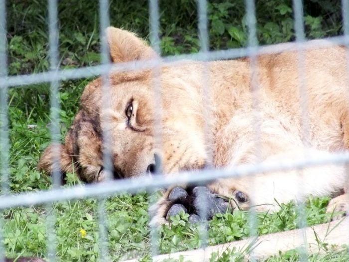 parc-des-felins-nesle-seine-et-marne-lion-blanc-jaguar-guepard-tigre-lorike-bebe-lynx-lapin-elevage-reproduction (17)