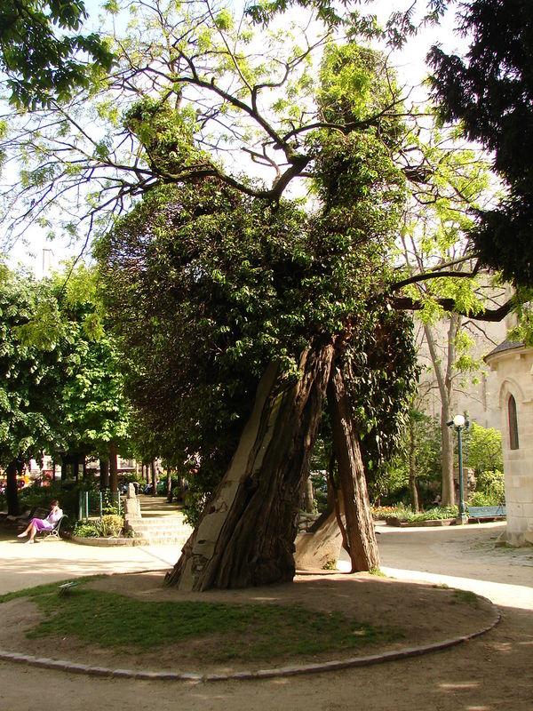Le robinier du square Viviani  Paris  lieux sacrs