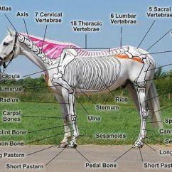 Horse Anatomy Diagram Muscles Wiring Symbols Uk Les Chevaux Peints Et L'incurvation - Saddle Fitting