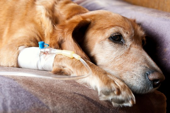 perfusion chien insuffisance rénale