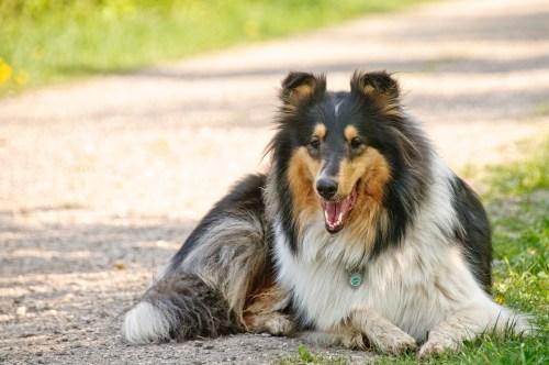 pelage chien