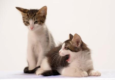 Stérilisation chaton
