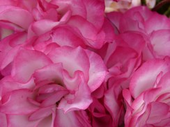 P1nk66 Beautiful Roses 1