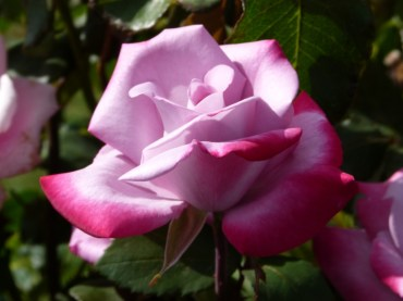 P1nk66 Beautiful Roses 8