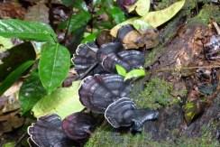 Mossman Gorge Fungi