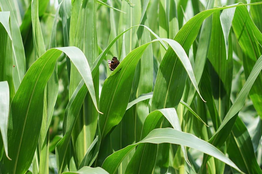麥田, 玉米, 玉米種植, 農業, 領域, 可耕的, 鮑爾, 農場, 免版稅, CC0, 公共領域 | Piqsels