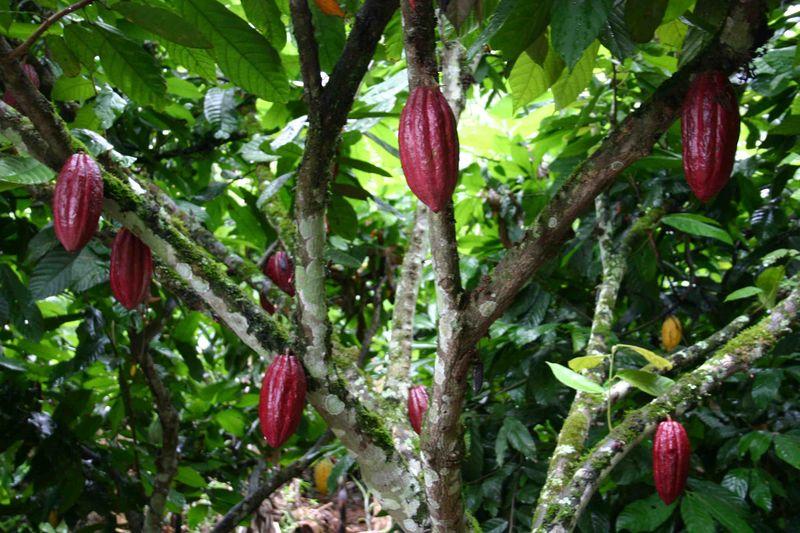 lhistoire du cacao  La cuisine de Tattoo