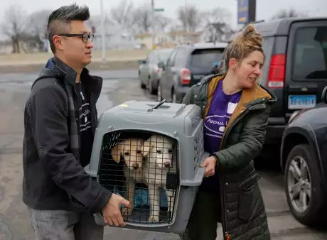 Dos perros son trasladados en una jaula a un vehículo para llevarlos a otro lugar cerca del Aeropuerto Kennedy en el distrito Queens de Nueva York, el domingo 26 de marzo de 2017. A la izquierda, el director de operaciones del grupo Refugio Animal, Mantat Wong, y a la derecha la voluntaria Nicole Smith. Los canes forman parte de 46 que fueron rescatados de una granja de Corea del Sur donde serían sacrificados para consumo humano en aquel país.