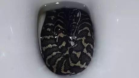 A cobra pode ter entrado no vaso sanitário à procura de água por causa do calor, diz a tratadora