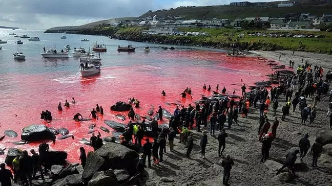 Whale hunting, like the one in this photo in Torshavn in 2019, is organized by the community itself.