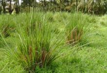 Photo of Cegah Longsor Dengan Rumput Vetiver