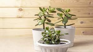Photo of Jade Plant Tanaman Hias Korea Selatan Di Drama Korea Start Up