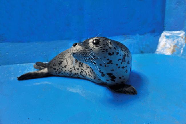 國際海豹日大連老虎灘迎來斑海豹滿月寶寶_遼寧頻道_鳳凰網