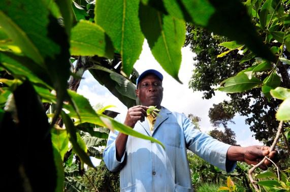 Khatblader i Kenya. (Foto: International Center for Tropical Agriculture / CC BY-SA 2.0)