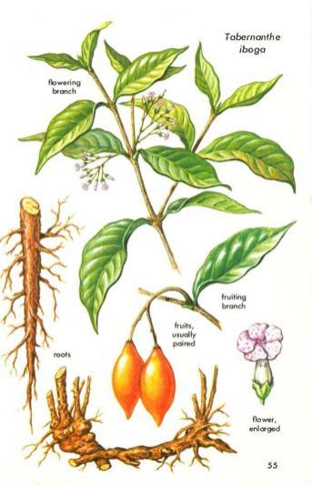 Iboga-busken kan bli hele ti meter høy. Foto: Flickr Creative Commons