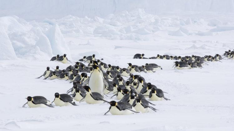 """Voksne keiserpingviner på vei mot  havet i """"Pingvinenes marsj 2"""". (Foto: Norsk Filmdistribusjon AS)"""