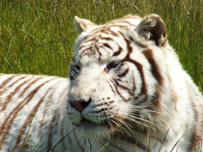 parc-des-felins-nesle-seine-et-marne-lion-blanc-jaguar-guepard-tigre-lorike-bebe-lynx-lapin-elevage-reproduction (33)
