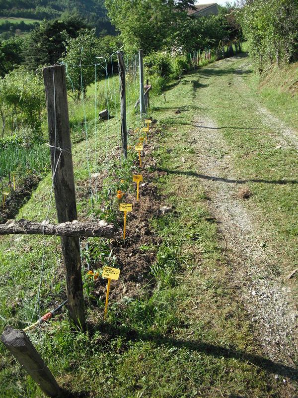 Plantation tomates  palissage sur fil  tuteur  Le jardin de Salom