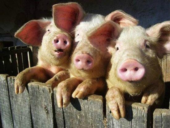 """Résultat de recherche d'images pour """"cochons"""""""
