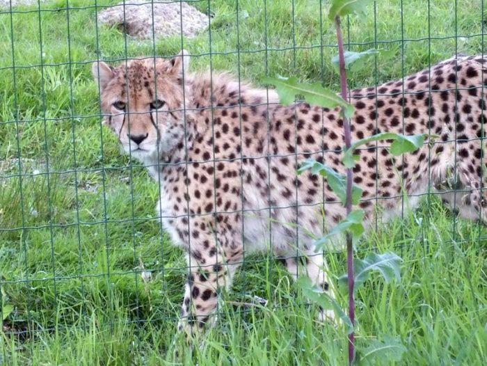 parc-des-felins-nesle-seine-et-marne-lion-blanc-jaguar-guepard-tigre-lorike-bebe-lynx-lapin-elevage-reproduction (34)