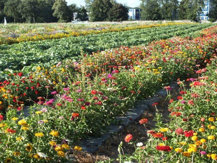 cueillette-ferme-viltain-chapeau-de-paille-jouy-en-josas-fleurs-mures-groseilles-tomates-cerises-mais-doux-champs-nature-courgette-choux (14)