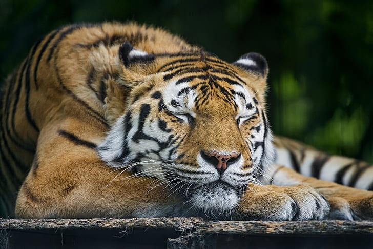 Wallpaper harimau tidur HD unduh gratis | Wallpaperbetter
