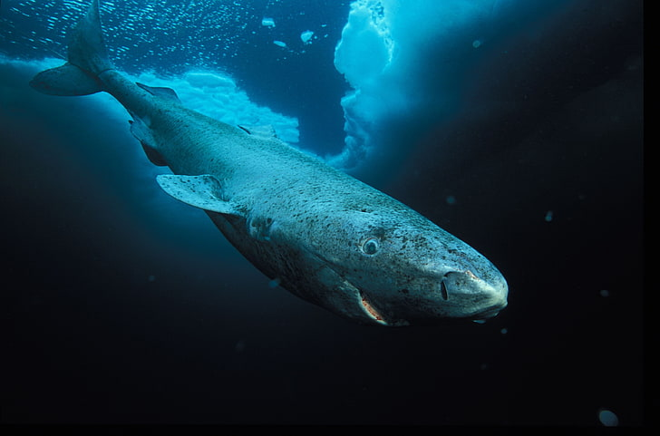 Hasil gambar untuk hiu greenland hd