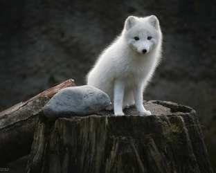 fox arctic hd animals wallpaperbetter animal tongue muzzles closeup nature