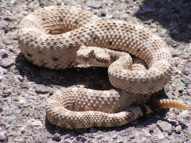 Hasil gambar untuk ular derik hd