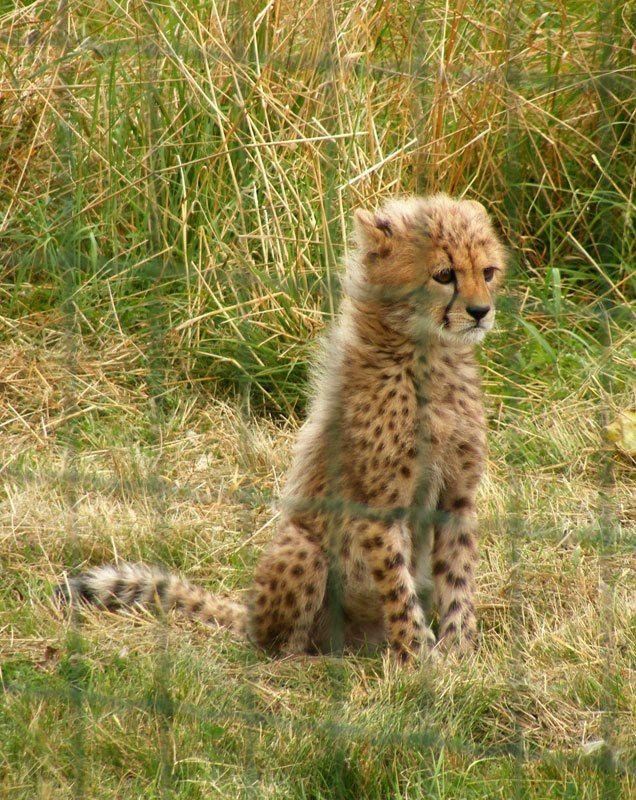 Parcdesfelins-chats-tigre-guepard-leopard (6)