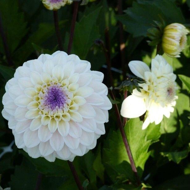 Dahlia-decoratif-Seniors-White-85059-1