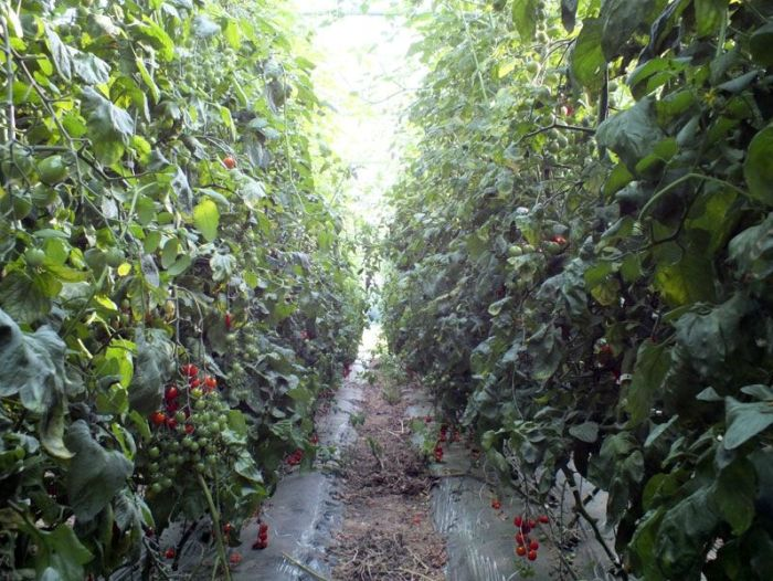 cueillette-ferme-viltain-chapeau-de-paille-jouy-en-josas-fleurs-mures-groseilles-tomates-cerises-mais-doux-champs-nature-courgette-choux (12)