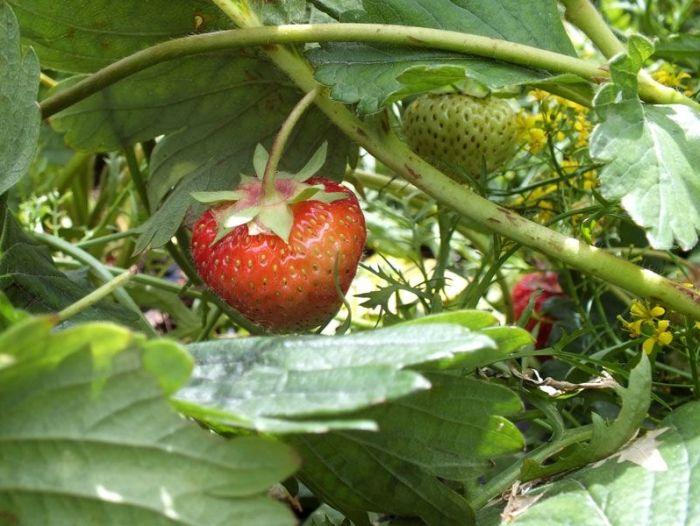 cueillette-fer-de-viltain-roses-oeillets-des-poetes-fraises-oignons-jaunes-groseilles-lys-courgettes-jus-de-pomme-verger (2)