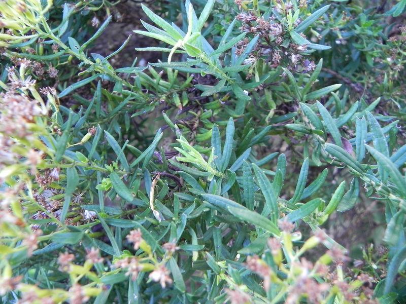 PLANTE  FORET PRIMAIRE  ESPECES ENDEMIQUES ET INDIGENES DE LA REGION DU TAMPONPITON HYACINTHE