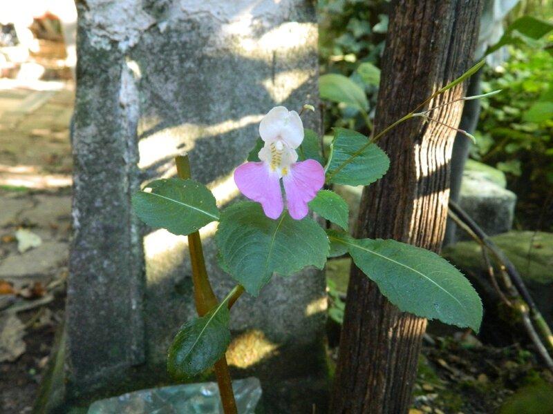 fleur d'impatient