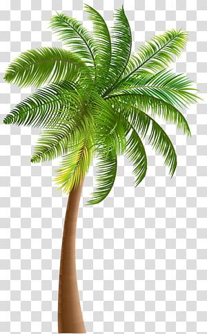 arecaceae california palm tree